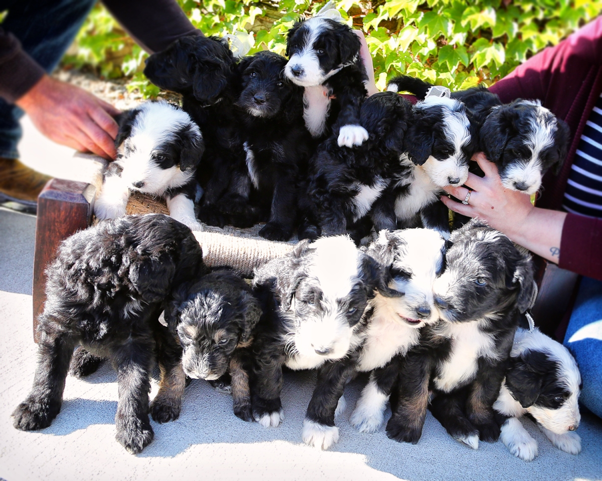 Shaw's Puppies – Completing families, four paws at a time